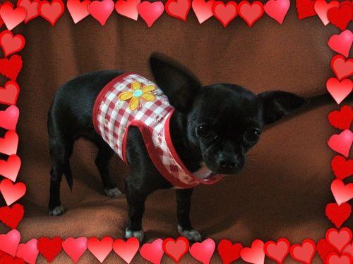 selbst genähtes Kleidchen-Geschirr für Chihuahua, von KayDee